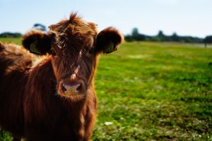 Male calf castration exposes risks of scalpels injuries to livestock handlers.